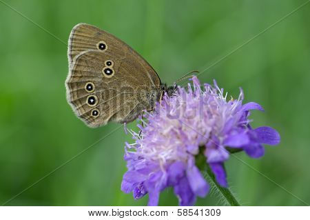 Woodland Ringlet Butterfly On A Widow Flower