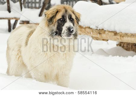 Watchful Romanian Shepherd Standing In The Snow