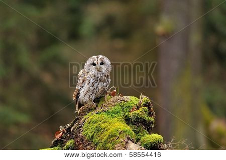 Tawny Owl In The Wood