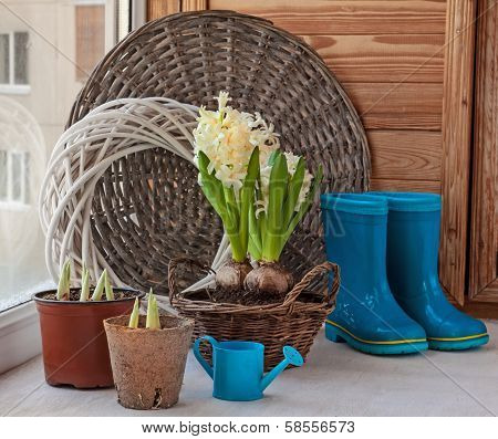 Spring Gardening. Growing Hyacinths On The Balcony