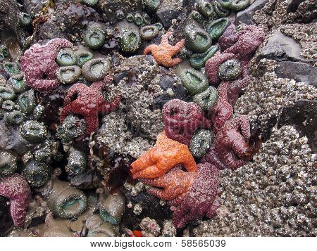 Starfish and sea anemone on tidepool rock