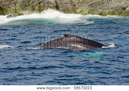 Swimming Humpback Whale
