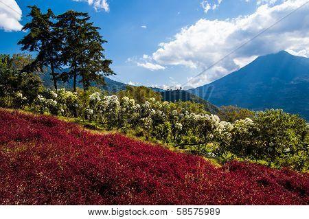 Flowering Hillside & Volcano View