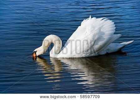 White Swan Or Cygnus Olor Feeding