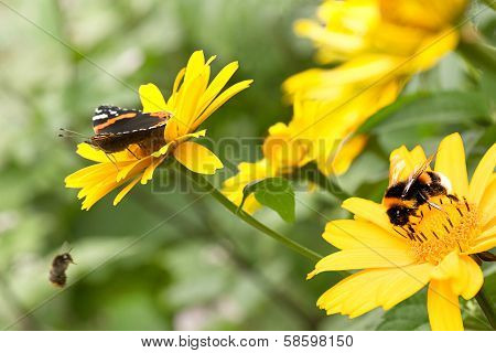 Insects On Sunflowers In Summer