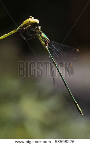 Emerald Damselfly Or Lestes Virides