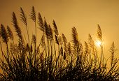 image of pampas grass  - Pampass grass at sunset in the silhouette - JPG