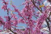 picture of judas tree  - This is a close up of RedBud Tree Blooms - JPG