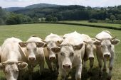 White Charolais Cattle In A Field