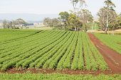picture of rich soil  - Field of Carrots in neat rows on rich farmland soil - JPG