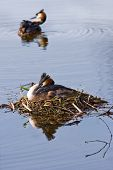 stock photo of great crested grebe  - Couple Great crested Grebe in spring on nest with reflection in water - JPG