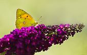 picture of butterfly-bush  - Dark Clouded Yellow Butterfly or Colias crocea on purple Butterflybush in summer garden - JPG