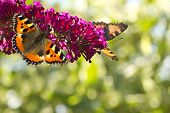 foto of butterfly-bush  - Two Small tottoiseshell butterflies on Butterfly bush in the garden in summer with bokeh background and copyspace - JPG