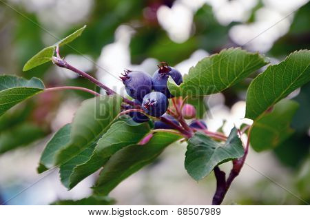 Irgun, or Amelanchier, or Bismol