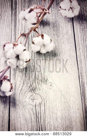 Branch Of Ripe Cotton Bolls