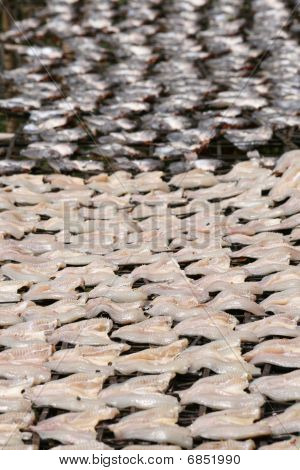 Fish drying in the sun, Thailand.