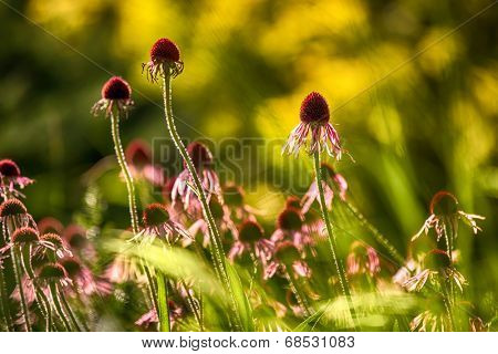 Purple cone-flower also known as Echinacea purpurea, shallow DOF
