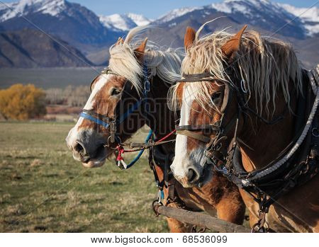 Belgian Draft Horse Team