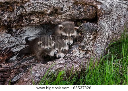 Trio Of Baby Raccoons (Procyon lotor) In Downed Tree