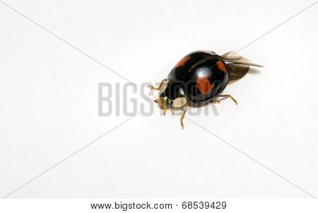 A Black Harlequin Ladybird