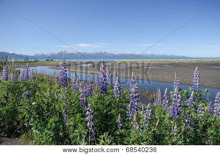 Lupines On Kachemak Bay 4