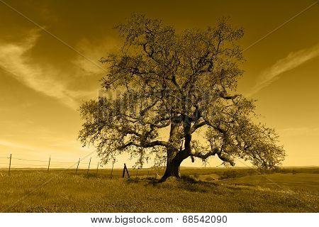 Lone Oak Tree Silhouette