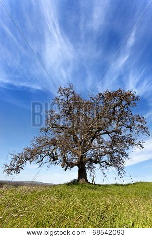Lone California Oak Tree