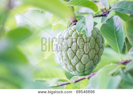 Custard Apples Or Sugar Apples Or Annona Squamosa Linn. Growing On A Tree In Garden