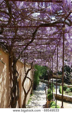 Wisteria covered walkway.