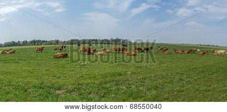 Cattle In The Fields