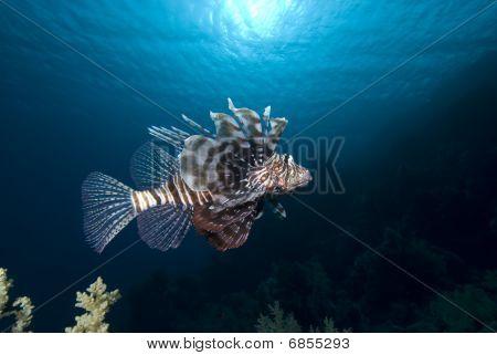 Orante Tropical Fish