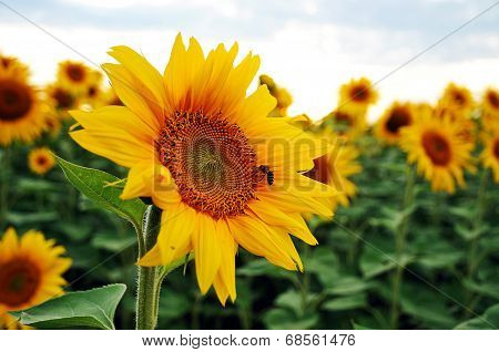 Bee on a blooming sunflower