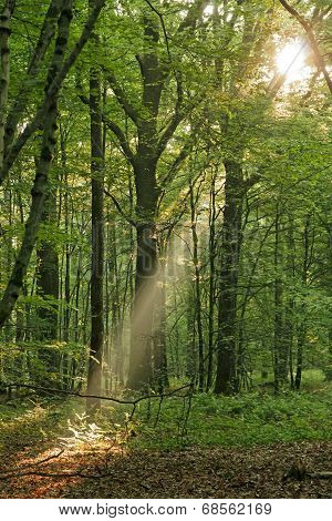 Light of dawn in the forest, somewhere in the forest of the Perche  France