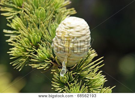 Resin of pine cone, tree with pine in summer