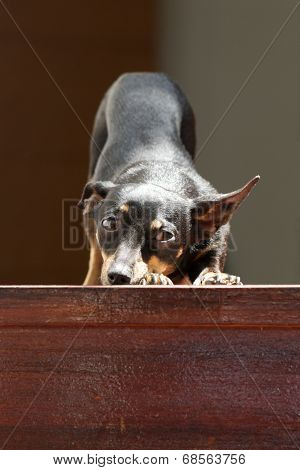 Sunlit dachshund stretching at top of stairs