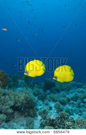 Vibrant Yellow Tropical Fish