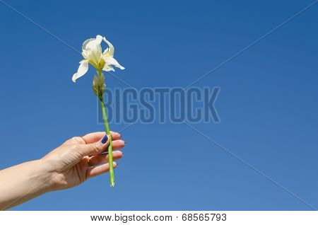 Iris Flower In Woman Hand On Blue Sky Background