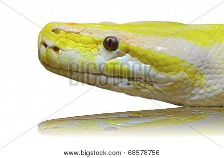 Head Albino Python Snake Isolated On White