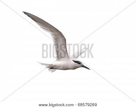 Sandwich Tern (sterna Sandvicensis)