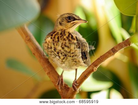 Fieldfare On Tree