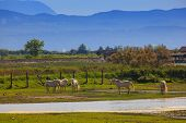picture of great horse  - Herd of wild Camargue horses Soca River Mouth  - JPG