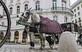 pic of blinders  - Vienna Austria a pair of horses harnessed to a carriage - JPG