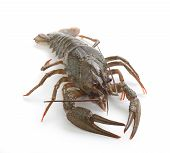 stock photo of crawfish  - Alive isolated crawfish on the white background