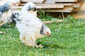 stock photo of brahma  - Brahma chicken on green grass - JPG
