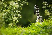 pic of fanny  - Lemur kata  - JPG