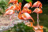 pic of flamingo  - Portrait of beautiful American Flamingo birds in Mexico - JPG
