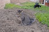 stock photo of peeing  - Gray tabby cat peeing on ground in backyard - JPG