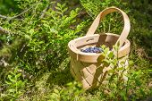Постер, плакат: Picking Berries In The Forest On Sunny Summer Day