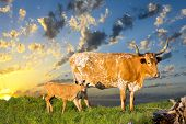 stock photo of longhorn  - Female Longhorn cow grazing in a Texas pasture at sunrise with her newborn calf - JPG
