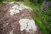 stock photo of caribou  - White lichen or Cladonia stellaris in the forest sweden - JPG